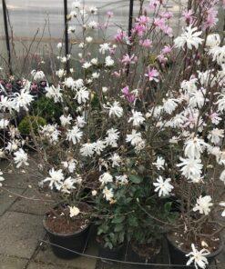 Kalnes Hagesenter * Spesielle - Magnolia Stellata Royal Star
