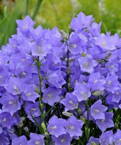 Kalnes Hagesenter * Stauder - Campanula persicifolia blå - Fagerklokke