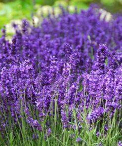 Kalnes Hagesenter * Stauder - Lavendula augustifolia Hidcote Blue - lavendel