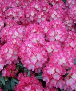 Kalnes Hagesenter * Hageplanter - Rhododendron Fantastica