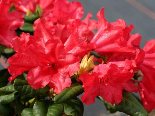 Kalnes Hagesenter * Hageplanter - Rhododendron Scarlet Wonder