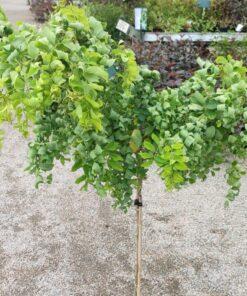 Kalnes Hagesenter * Prydtre - Robinia pseudoacacia - Twisty Baby