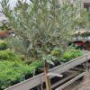 Kalnes Hagesenter * Prydtre - Salix helvetica