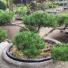 Kalnes Hagesenter * Spesielle - Pinus mugo Pumilio