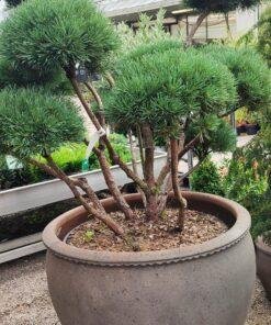 Kalnes Hagesenter * Spesielle - Pinus sylvestris Watereri